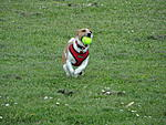 A flying Jack Russell